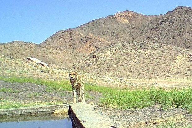 برآورد جمعیت یوزپلنگ های توران شاهرود 20 قلاده است