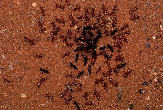 درمان کرونا با مورچه !